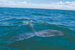 whale watching, whale watching tours, whales in mazatlan